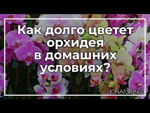 Как долго цветет орхидея в домашних условиях? | toNature.Info