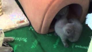 Шотландские котята на продажу