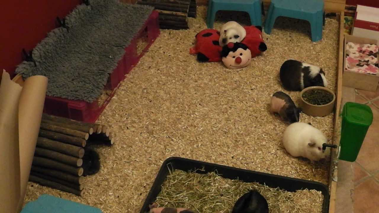 All about guinea pig bedding youtube for How to make a guinea pig bed