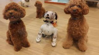 トイレのしつけ/プードル6ヶ月♂/犬の保育園Pee-Ka-Boo(ピーカーブー)大阪市 thumbnail