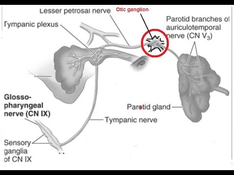 Anatomy of otic ganglion - YouTube