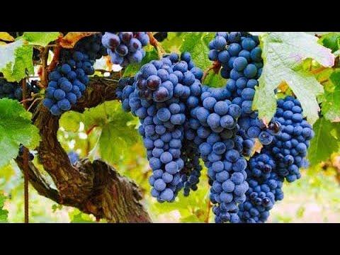 Почему виноград «Изабелла» запрещён в большинстве стран