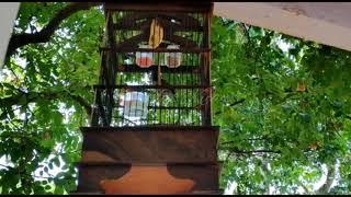 Full Wiceh .... wiceh   Kolibri manggar Gacor