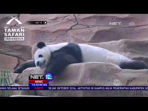 Live Report: Dua Giant Panda Asal Cina, Taman Safari Indonesia - NET12