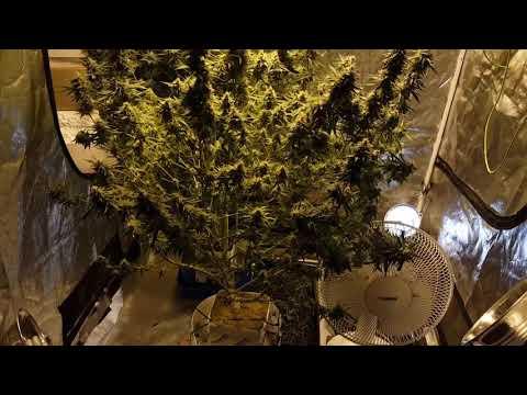 OG Kush Autoflower Cannabis Plants