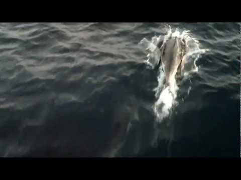Dolphins, Minkie Whales in St Georges Channel, June 2012