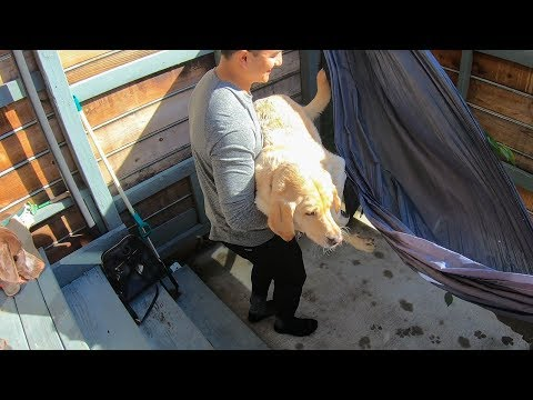 Funny Dog sits on Hammock for the first time