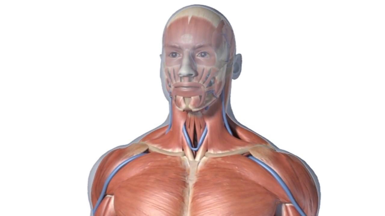Zygote 3D Polygon Anatomy Models - For Animators & Illustrators