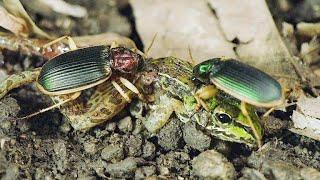 ЖУЖЕЛИЦЫ В ДЕЛЕ! Эти маленькие, агрессивные и голодные жуки, нападают на всех! смотреть онлайн в хорошем качестве - VIDEOOO