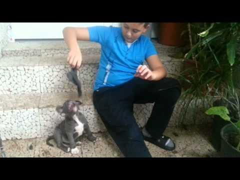 stafford kis kutya