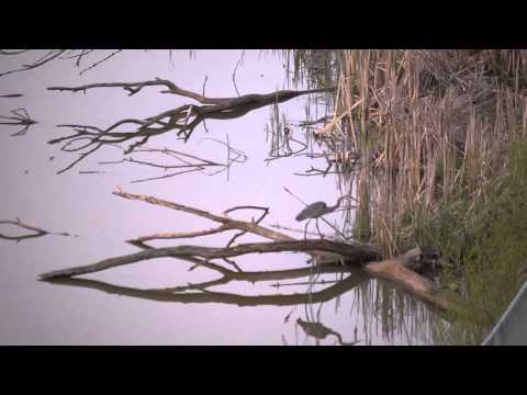 Blue Heron Quietly Stalking @ RBG  Apr. 30 2012.m2ts