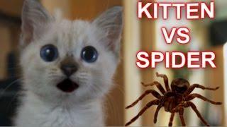 Kitten Vs Spider