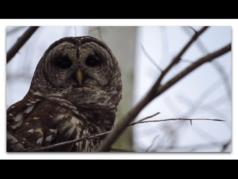 Cristol in College Woods: Great Horned Owls