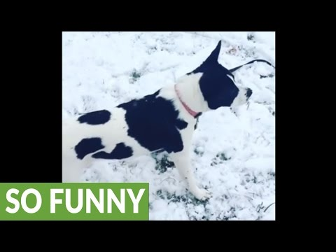 Dog plays in the snow like a little kid