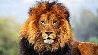 Суперхищники. Самые опасные животные на планете - ЛЕВ HD документальные фильм 2015 документальные фи