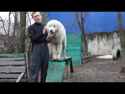 Мареммо-абруццкая овчарка