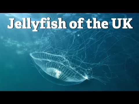 Jellyfish Of The UK