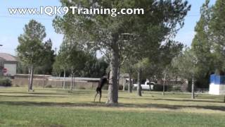 "Iq K9 Training | Dog Trick Advanced Training ""spread Em"" And ""spin"" - Oceanside Dog Tricks"