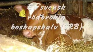 mjölkproduktion av Linda & Emelie