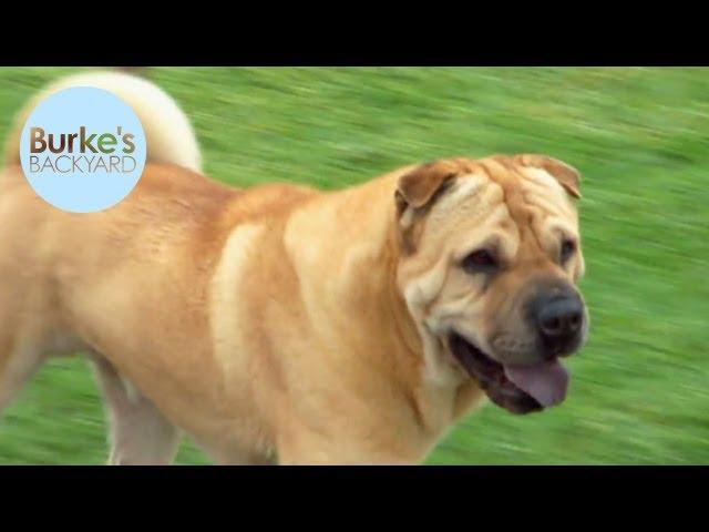 Burkes Backyard Dogs burke's backyard, shar-pei dog road test - clipzui