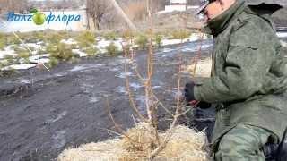 видео Обрезка груши осенью: технология с фидео и фото