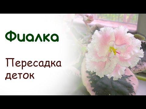 Комнатные растения: Фиалки (сенполии), бегонии