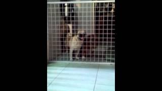 Intelligent Pug Escapes!!