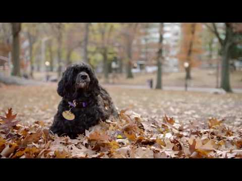 Westminster Dog Show: Portuguese Water Dog in Central Park