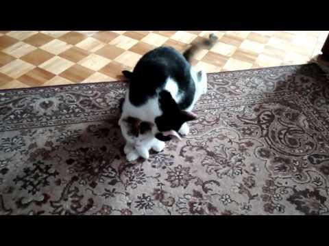 Cat in heat vs sterile female(1)