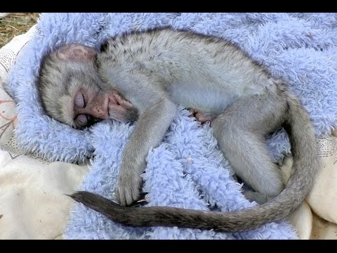 Curious George Baby Vervet Monkey Rescue  Rehabilitated & Released  South Africa Primate Troop