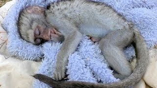 Curious George Baby Vervet Monkey Rescue | Rehabilitated & Released | South Africa Primate Troop