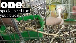winter breeding of love birds - special seedmix everybody should give