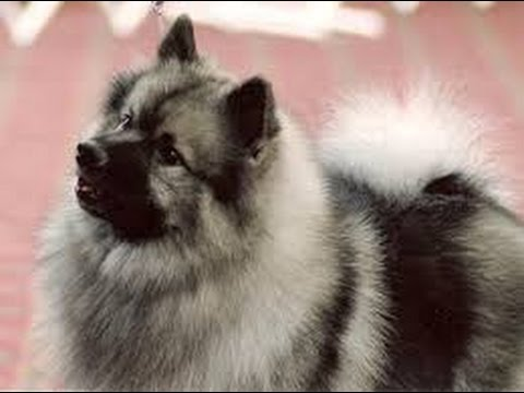 Keeshond (Wolfsspitz) - Dog Breed