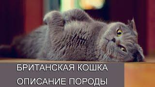 Британская короткошерстная кошка. Описание породы