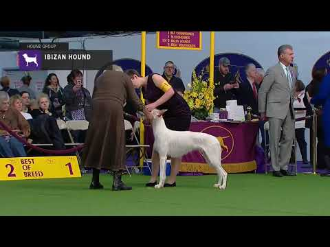 Ibizan Hounds | Breed Judging 2019