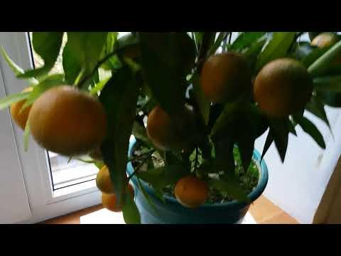 Вопрос: Как вырастить мандарин из косточки, чтобы он плодоносил?