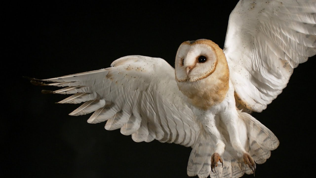 Owls Help Jhu Scientists Unlock The Secret Of How The Brain Pays Attention Johns Hopkins Whiting School Of Engineering