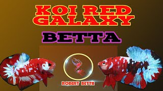 Robert Betta | Beautiful Koi Red & Nemo Galaxy Betta
