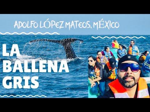 Ballena Gris   Adolfo López Mateos, B.C.S. MÉXICO