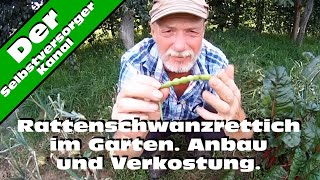 Rattenschwanzrettich im Garten. Anbau und Verkostung.