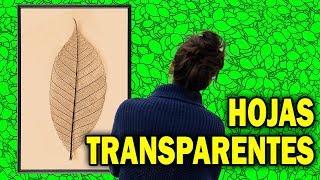Alguna vez has pensado lo romántico que puede ser inmortalizar una hoja haciéndola transparente. En este vídeo te voy a enseñar como hacer esqueletos de ...