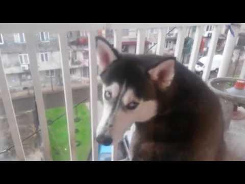 Собака хаски обиделась, что ее не пускают в дом, Грузия, 22.12.2014