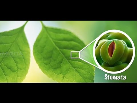 Study of Stomatal Distribution on Leaves  MeitY OLabs  YouTube