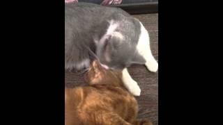 Ласки кошек. Британские кошки. Ласковые кошки. Милые кошки. Купить кошку