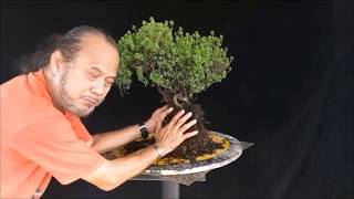 5 Gaya Dasar Bonsai, Live Demo by Robert Steven on Pemphis