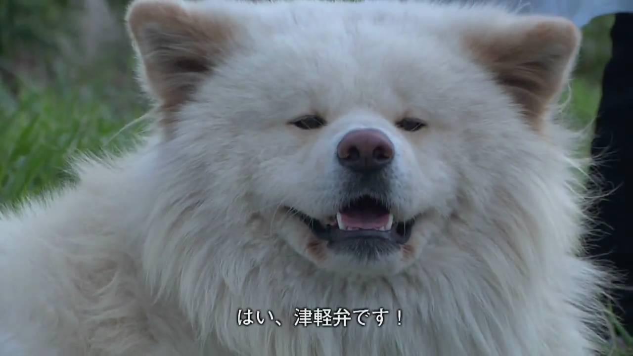 わさお!ブサかわいい犬!秋田犬...