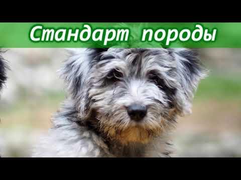 Бергамская овчарка - описание итальянской #породы собак #бергамаско