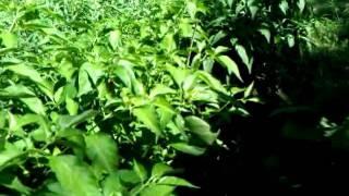 Pepper Plants- Habanero and Jalapeno