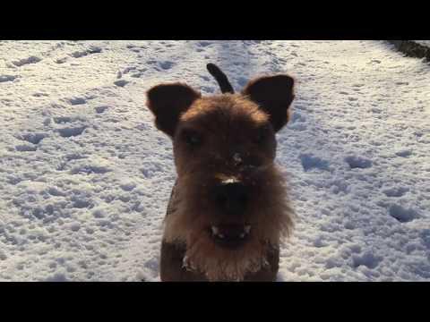 Welsh Terrier Tero 12th Birthday