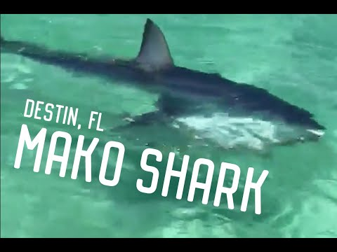 Mako Shark spotted in Destin, FL